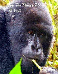 A Mountain Gorilla in Rwanda.  The Mountain Gorilla is severely endangered with their numbers estimated to be as low as 800.