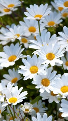 Ideas for flowers white daisy margaritas Sunflowers And Daisies, My Flower, White Flowers, Flower Power, Beautiful Flowers, Daisy Flowers, Meadow Flowers, Golden Flower, Summer Flowers