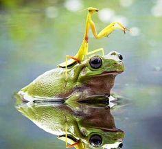 Yellow Mantis on frog's head