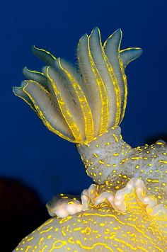 ˚Close up of a Nudibranch Branquias, Hypselodoris elegans Underwater Creatures, Underwater Life, Ocean Creatures, Beautiful Sea Creatures, Animals Beautiful, Beneath The Sea, Under The Sea, Fauna Marina, Sea Slug
