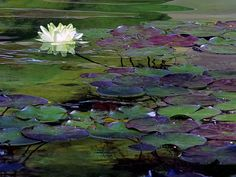 Water Lily Pads and Flower by Hazel Vaughn on Capture My Arizona // A few months later, the water lily pads were adorned with buds and flowers.