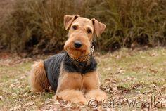 Google-Ergebnis für http://www.airedale-terrier-weiden.de/Bilder/agentur11.jpg