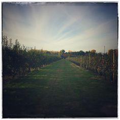 In apple fields