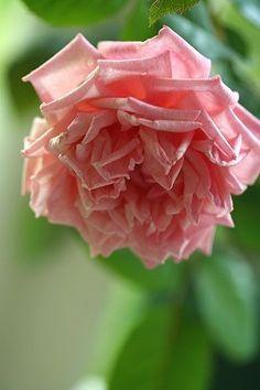 ~Tea Rose: Rosa 'Baronne Henriette Snoy' (France, 1897)