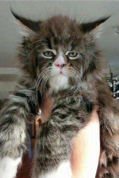 Maine Coon Cat http://ift.tt/25KOpXy