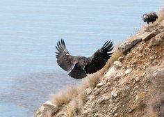 Condors at Big Sur California
