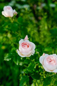 Rambler Rose, Rosen Beet, Peonies, Garden, Flowers, Plants, Roses, Dreams, Outfits