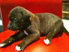 bull terrier puppies brown