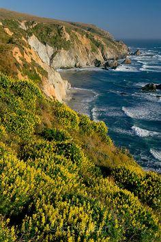 Yellow Tree Lupin, Tomales Point, Point Reyes National Seashore, Marin County, California by Edgar Callaert