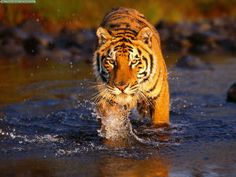 A devastating oil spill has further threatened the survival of the endangered Royal Bengal Tiger. Urge authorities to repeal the approval of oil tanker trade routes through the protected habitat of endangered species.