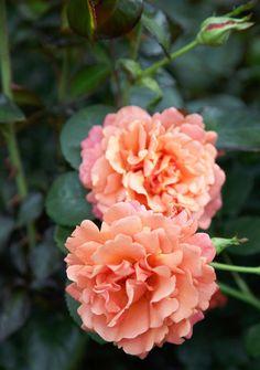 "Garden Retreat - Traditional Home® ""Daybreaker"" Floribunda Rose"