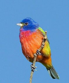 Painted Bunting--I've never had the pleasure to see one of these even though we have them here in south Texas