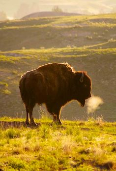 A Buffalo ~ National Bison Reserve, Montana. Zebras, Beautiful Creatures, Animals Beautiful, Buffalo S, Buffalo Animal, Animals And Pets, Cute Animals, Wild Animals, American Bison