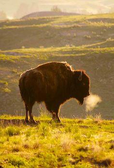 Buffalo, National Bison Reserve, Montana