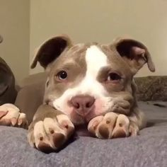 Check what new we have in store Love pitbulls Pitbull Terrier, Amstaff Terrier, Bull Terriers, Staffordshire Bull Terrier, Staffy Dog, Amstaff Puppy, Pit Puppies, Baby Puppies, Baby Dogs