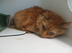 FLORIDA HELP!!!!  Pinellas County Animal Services Meet CLYDE. P565126. Another senior fat cat at 25#! He also is 10 yrs young  https://www.facebook.com/PinellasCountyAnimalServices/photos/a.215253840982.142534.190810155982/10152833124975983/?type=1&comment_id=10152833546640983&notif_t=comment_mention