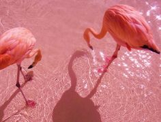 Did you know? Flamingos aren't born pink. The algae they eat has a pigment that turns them the beautiful blush color.
