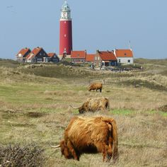 Lighthouse, Village of Texel, Netherlands. Access Texel by ferry from Den Helder and then ride a bike to the lighthouse. I love these hairy cattle!