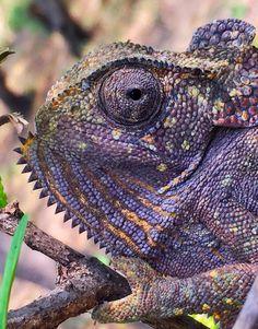 Chameleon Kenya