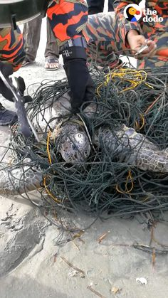 Giant Sea Turtle, Tiger World, Animal Welfare, Change The World, Fishnet, Tangled, Animal Rescue, Funny Animals, Wildlife