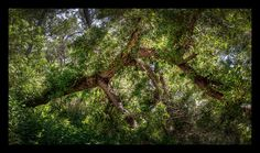Tree from Madrona Marsh - HDR photography
