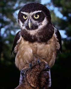 "Photograph ""Spectacled Owl"" by John Mead on 500px. ""The regal Spectacled Owl - Taken in Awendaw, South Carolina at the Center for Birds of Prey."""