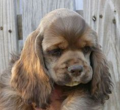 American Cocker Spaniel Pup ~ Classic Look & Trim American Cocker Spaniel, Cocker Spaniel Puppies, Cocker Dog, Raza Cocker, Pet Dogs, Dog Cat, Doggies, Cute Puppies, Dogs And Puppies