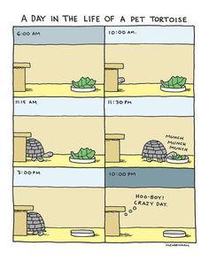 Pet Tortoise Print Funny Turtle Reptile Humor by DrawnFromMyBrain Horsefield Tortoise, Tortoise As Pets, Red Footed Tortoise, Tortoise House, Tortoise Habitat, Tortoise Table, Sulcata Tortoise, Tortoise Aquarium, Turtle Reptile