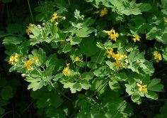 Greater Celandine - The roots, though poisonous, can be eaten if properly prepared. Stem oozes an irritating natural latex which, in the Tudor era, was considered to be effective against warts.