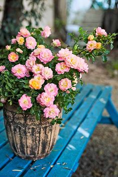With containers and the right varieties, such as the Apricot Drift shown here, you can have beautiful, healthy roses just about anywhere there's full sun and a nearby hose. | Photo: Courtesy of Star Roses and Plants