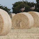 Hay Goosey, Goosey. by Stuart Daddow Photography