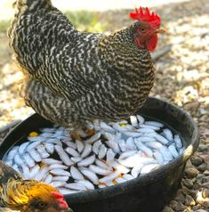 Raising Chickens, Chickens Backyard, Coops, Go Green, Hens, Permaculture, Agriculture, Beautiful Gardens, Animals And Pets