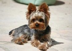Yorkie Haircuts: 100 Yorkshire terrier Hairstyles Pictures | Yorkiemag #yorkshireterrier