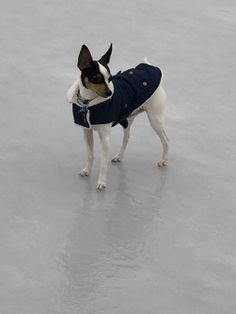 It's chilly today Toy Fox Terriers, Boston Terrier, Dogs, Animals, Animais, Animales, Animaux, Pet Dogs, Boston Terriers