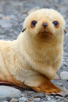 """Blondie"" - An Antarctic Fur Seal pup sits on a beach - South Georgia, South Atlantic. Photo by Tony Beck. °"