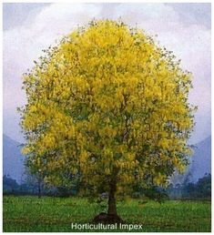 Rainbow Shower Tree Cassia fistula x javanica flowers and