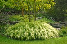 Golden Japanese Forest Grass — This stunner produces masses of white-and-gold striped leaves from late summer to early fall. Even grows in shade! Zones 5-9.