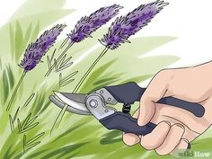 How to Make Essential Oils. Essential oils are highly concentrated oils extracted from aromatic plants such as lavender and rosemary. About 700 different types of plants contain useful essential oils, and there are several methods used to. Essential Oil Still, Making Essential Oils, Essential Oils Guide, Essential Oil Uses, Homemade Body Care, Essential Oil Distiller, Rosemary Plant, Types Of Herbs, How To Make Oil