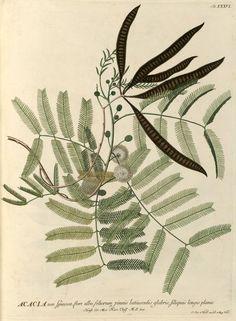 Acacia, Georgius Dionysius Ehret (1750)