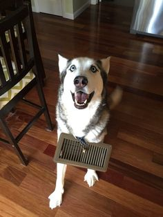 23 Funny Animal Pictures Of The Day. Dog finds himself some bling and boy is h - Funny Husky Meme - Funny Husky Quote - The post 23 Funny Animal Pictures Of The Day. Dog finds himself some bling and boy is h appeared first on Gag Dad. Funny Husky Meme, Dog Quotes Funny, Funny Animal Memes, Cute Funny Animals, Funny Animal Pictures, Funny Cute, Funny Dogs, Hilarious, Animal Funnies