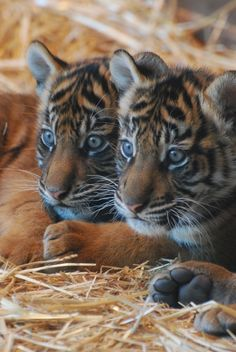 magicalnaturetour: Tiger Sisters (by OnceAndFutureLaura)