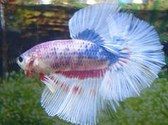 Bettas For Sale halfmoons plakats crowntails giants | Clearance