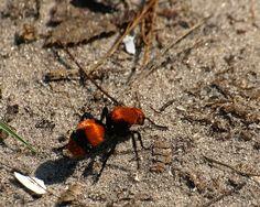 Velvet Ant by Walt Williams Photography