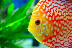 Diskusfische-Fotos