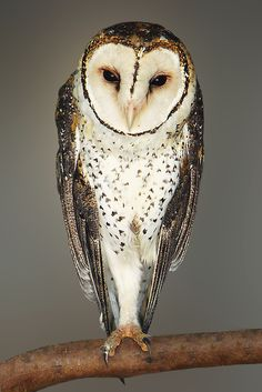 Australian Masked Owl -  by Michael Sheridan