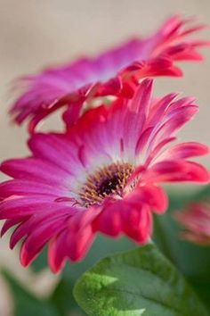 love the white changing to pink petals Amazing Flowers, Pink Flowers, Beautiful Flowers, Pink Petals, Accessoires Photo, Daisy Love, Agaves, Belleza Natural, Flowers Nature