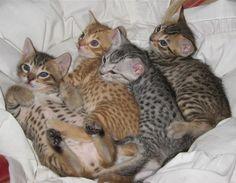 Somali cat breeder | Ocicat Cat Breeders Australia -Ocicat Kittens for sale