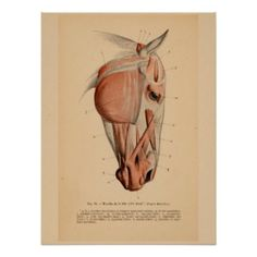 Image result for best horse muscle anatomy chart for artists