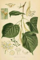 Gombamánia: Hársfa és gombái Plant Leaves, Plants, Plant, Planets