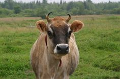 Lovely Jersey cow close-up